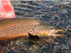 The-Brown-Trout-of-Patagonia6+